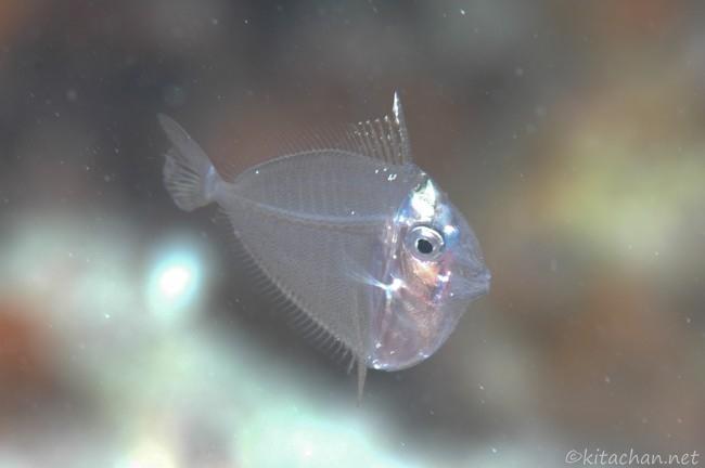 ハギの稚魚