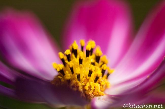 [Photolog] 2011年9月 昭和記念公園の秋桜