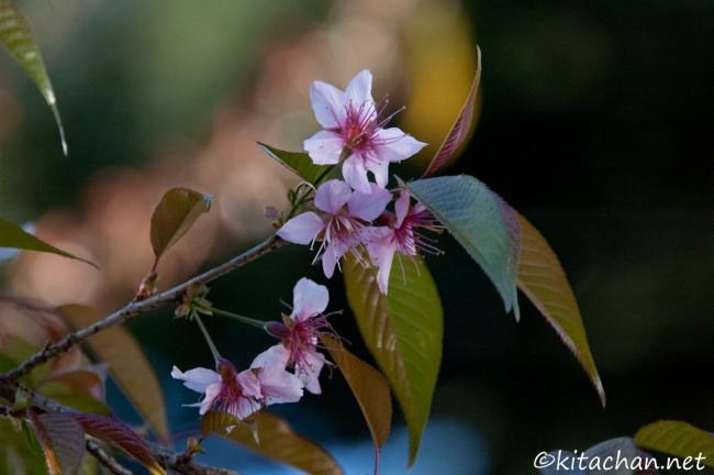 [Photolog] 2011年12月 新宿御苑の冬桜