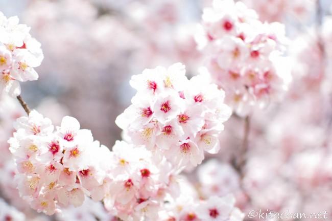 [Photolog] 2012年3月 新宿御苑の寒桜とメジロ