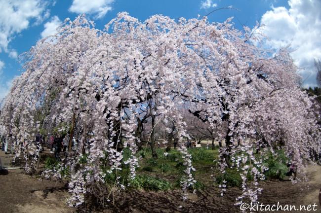 [Photolog] 2012年4月 新宿御苑の枝垂桜