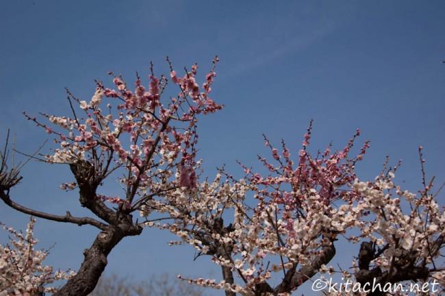 [Photolog] 2013年3月 枚岡公園の梅