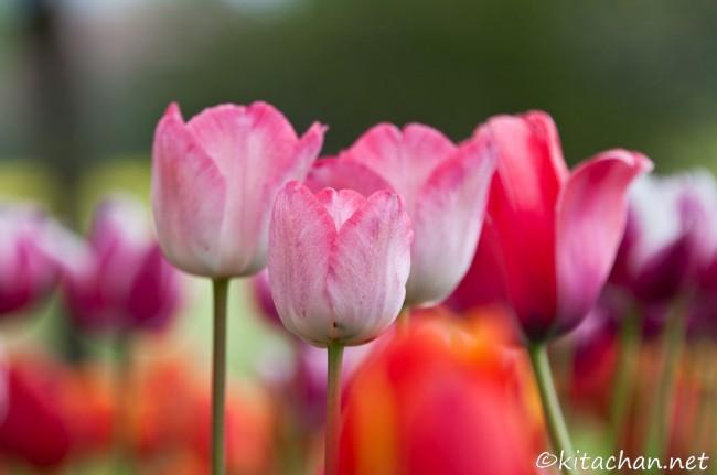 [Photolog] 2011年4月 昭和記念公園のチューリップ