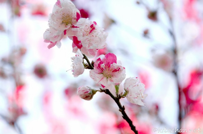 "[Photolog] 2011年4月 新宿御苑の花桃""源平"""