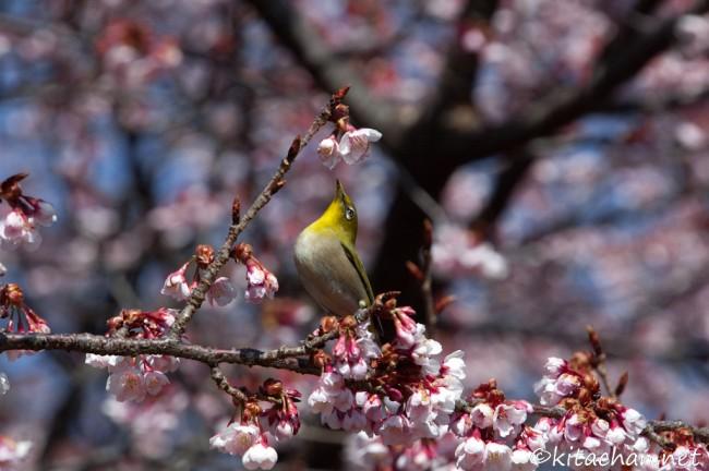 [Photolog] 2011年2月 新宿御苑の寒桜
