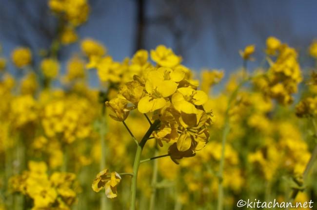 [Photolog] 2011年3月 木場公園の菜の花と大横川沿いの河津桜