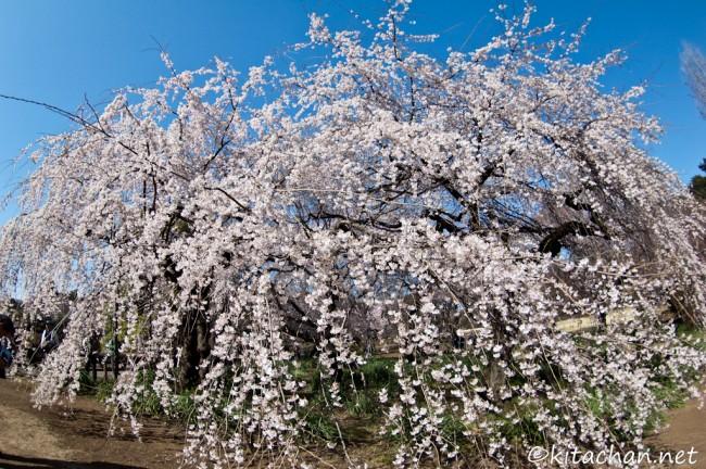 [Photolog] 2011年4月 新宿御苑の枝垂桜