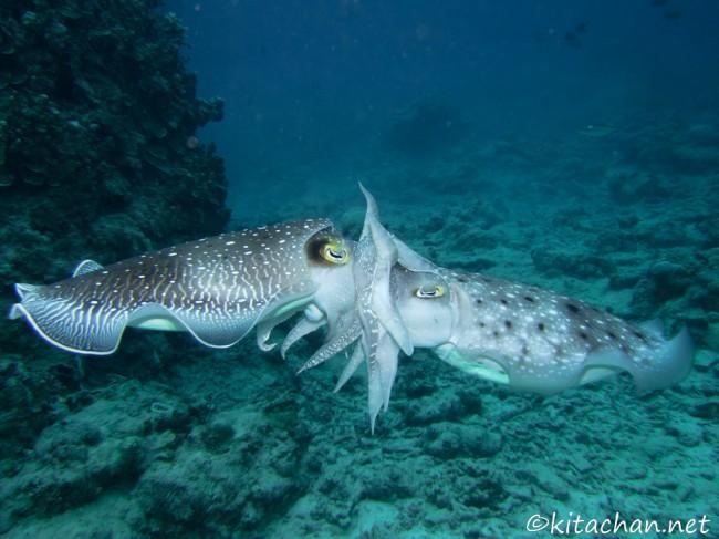 コブシメの産卵のシーズン@石垣島