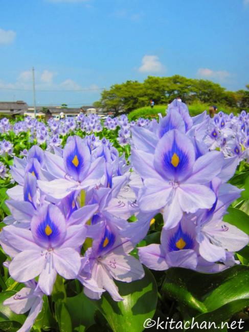 [Photolog] 2014年9月 本薬師寺跡のホテイアオイ