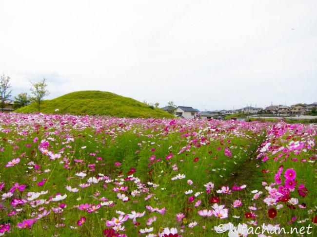 [Photolog] 2014年10月 般若寺の秋桜