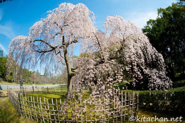 出水の櫻(京都御苑)