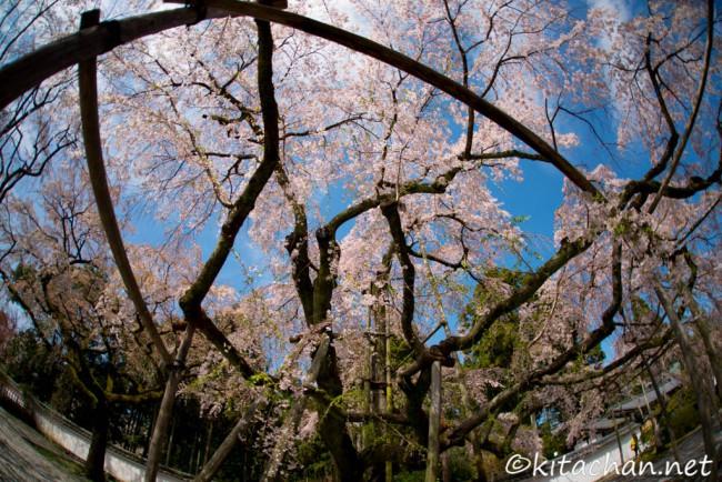 [Photolog] 2015年4月 京都の桜