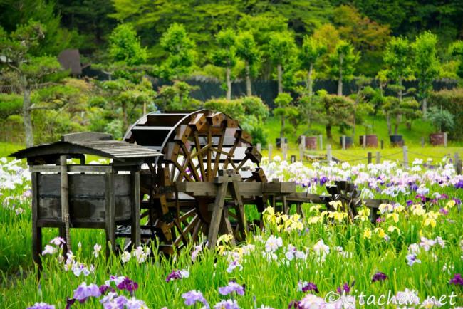 [Photolog] 2015年6月 永沢寺の花菖蒲