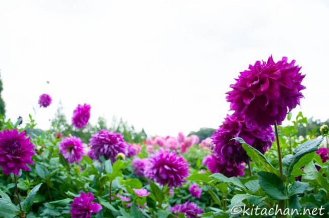 世羅高原農場のダリア