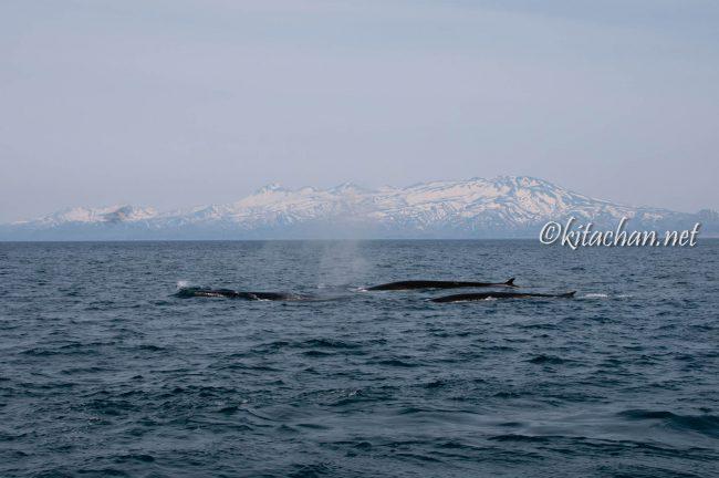 イワシクジラ